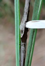 Laminilla que recubre las teliosporas de color negro antes de ser liberadas