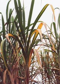 Amarillamiento de hojas maduras en la variedad CR74-250